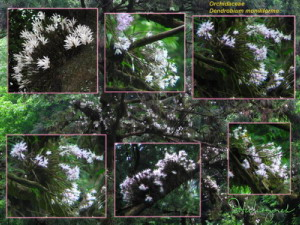 Jun04Dendrobium_moniliforme53_14_23_36_39_46_57CollageRC.jpg