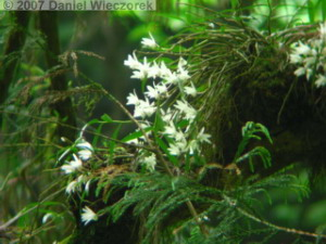 Jun02Takao_Dendrobium_moniliforme21RC.jpg