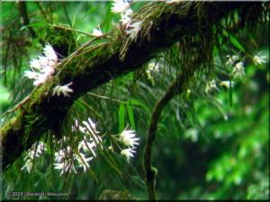 Jun02Takao_Dendrobium_moniliforme26aCropRC.jpg