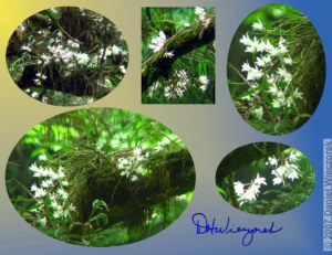Jun02_Dendrobium_moniliforme12_21_24_26aCrop_29aRC.jpg