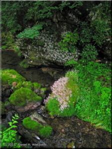 Jun24_Tsuru_Tsuru_Saxifraga_stolinifera02RC.jpg