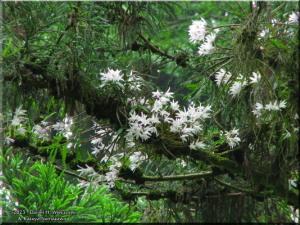 Jun08Takao_Dendrobium_moniliforme78_BESTRC.jpg