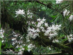 Jun08Takao_Dendrobium_moniliforme79_BESTRC.jpg