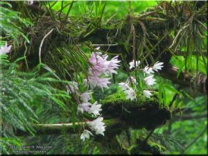 Jun08Takao_Dendrobium_moniliforme93_PINKRC.jpg