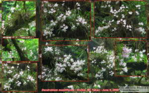 Jun08Takao_Dendrobium_moniliforme_Collage03RC.jpg
