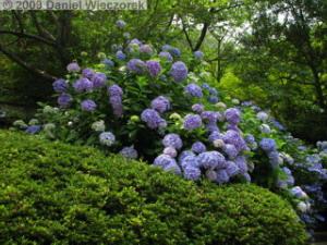 Jun19_Takahatafudo07_HydrangeaRC.jpg