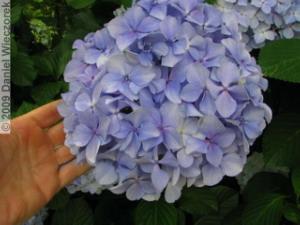 Jun19_Takahatafudo50_HydrangeaRC.jpg