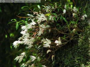 June07_MtTakao04_Dendrobium_moniliformeRC.jpg