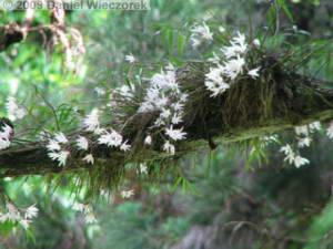 June07_MtTakao25_Dendrobium_moniliformeRC.jpg