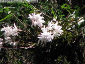 June07_MtTakao30_Dendrobium_moniliformeRC.jpg