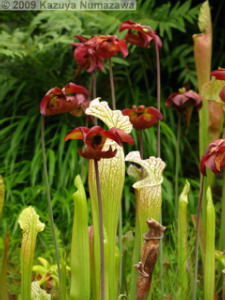 June14th_Hakone_Shisseikaen017_Sarracenia_leucophyllaRC.jpg
