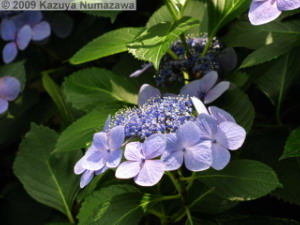 June19th_TakahataFudou010_HydrangeaRC.jpg