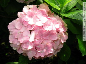 June19th_TakahataFudou031_HydrangeaRC.jpg
