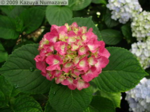 June19th_TakahataFudou037_HydrangeaRC.jpg