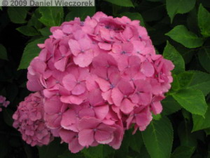 June20_HonDoTemple_Hydrangea11RC.jpg
