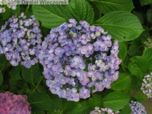 June20_HonDoTemple_Hydrangea22RC.jpg