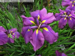 June20_HonDoTemple_Hydrangea61_IrisRC.jpg