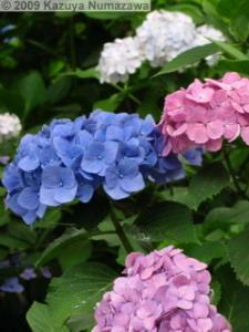 June20th_Hondoji066_HydrangeaRC.jpg