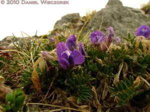 Jun05_019_Yatsugatake_Purple_Pea_Family_FlowerRC