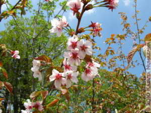 June12thOze149_PrunusNipponicaVarKurilensisRC