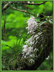 Jun12_37_MtTakao_Dendrobium_moniliformeRC