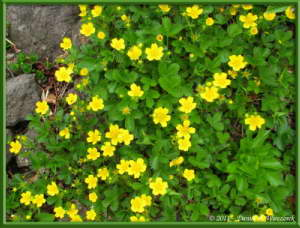 Jun18_193_AkitaKomagatake_YellowFlowerRC