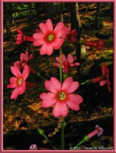June24_003_MtMizugakiClimb_Primula_japonicaRC