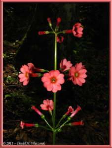 June24_004_MtMizugakiClimb_Primula_japonicaRC
