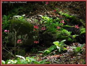 June24_019_MtMizugakiClimb_Primula_japonicaRC