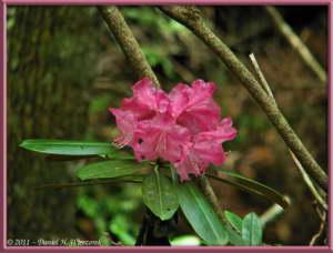 June24_045_MtMizugakiClimb_RhododendronRC