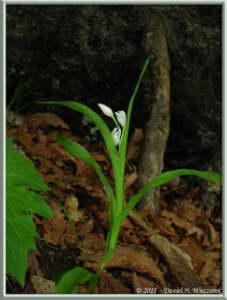 June24_117_MtMizugakiClimb_Cephalanthera_longibracteataRC
