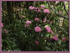 June24th_MtMizugaki055_RhododendronDegronianumRC
