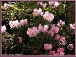 June24th_MtMizugaki068_RhododendronDegronianumRC