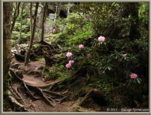 June24th_MtMizugaki120_RhododendronDegronianumRC