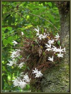 Jun02_01_MtTakao_Dendrobium_moniliformeRC