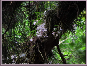 Jun02_06_MtTakao_Dendrobium_moniliformeRC