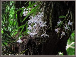Jun02_07_MtTakao_Dendrobium_moniliformeRC