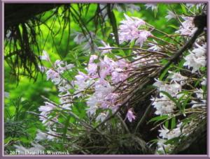 Jun02_101_MtTakao_Dendrobium_moniliformeRC