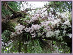 Jun02_123_MtTakao_Dendrobium_moniliformeRC