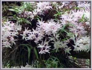 Jun02_125_MtTakao_Dendrobium_moniliformeRC