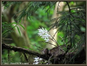Jun02_12_MtTakao_Dendrobium_moniliformeRC