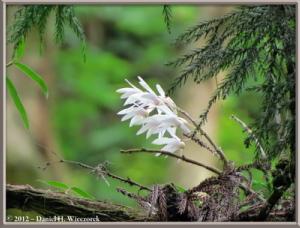 Jun02_14_MtTakao_Dendrobium_moniliformeRC