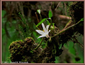 Jun02_198_MtTakao_Dendrobium_moniliformeRC
