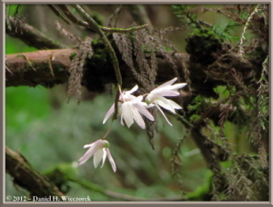 Jun02_202_MtTakao_Dendrobium_moniliformeRC