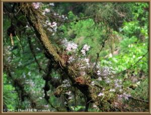 Jun02_24_MtTakao_Dendrobium_moniliformeRC