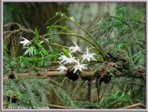 Jun02_26_MtTakao_Dendrobium_moniliformeRC