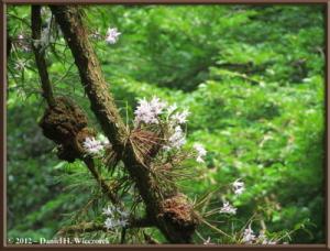 Jun02_28_MtTakao_Dendrobium_moniliformeRC