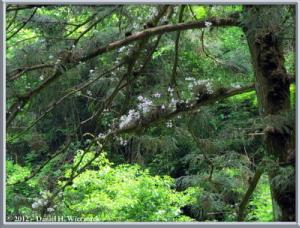Jun02_31_MtTakao_Dendrobium_moniliformeRC