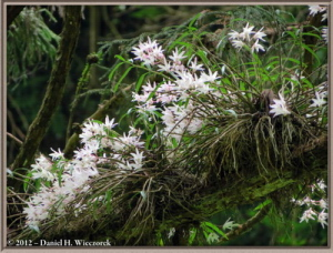 Jun02_32_MtTakao_Dendrobium_moniliformeRC