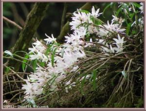 Jun02_33_MtTakao_Dendrobium_moniliformeRC